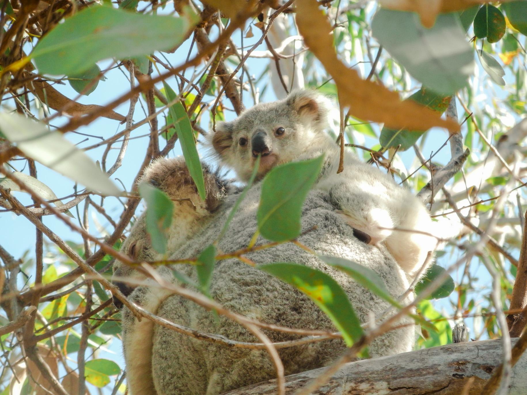 Koala spotting on Magnetic Island