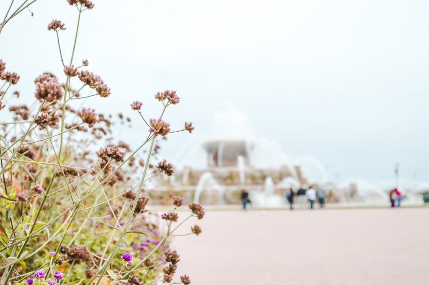 Close-up of small purple flowers with Buckingham Fountain in the background - Chicago, Illinois.