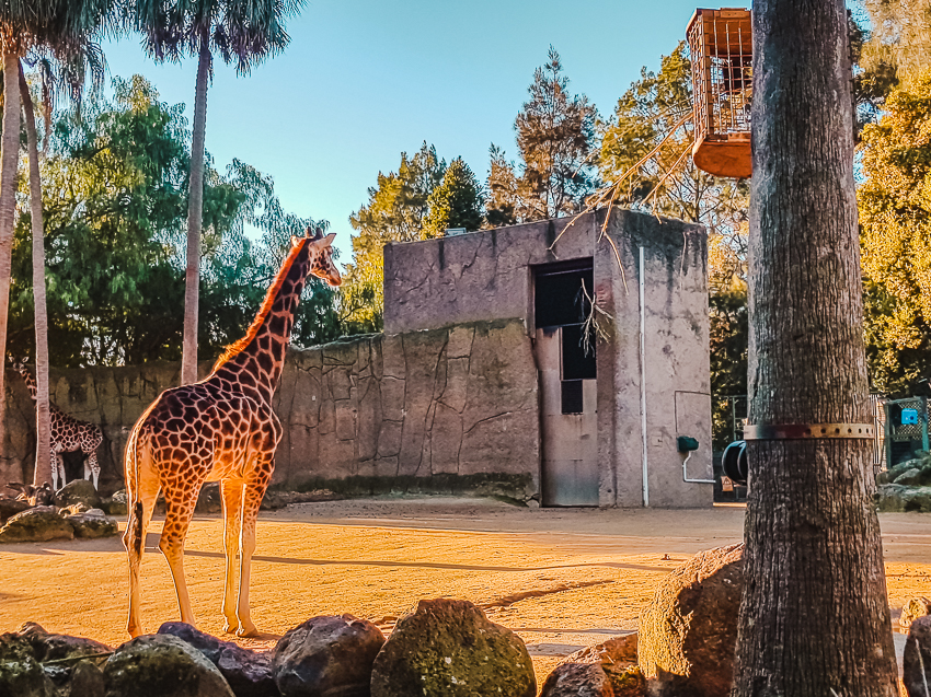 Things to do in Melbourne - see a giraffe at Melbourne Zoo