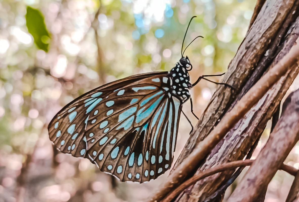 Up close image of blue monarch butterfly on Horseshoe Bay's Butterfly Forest Walk